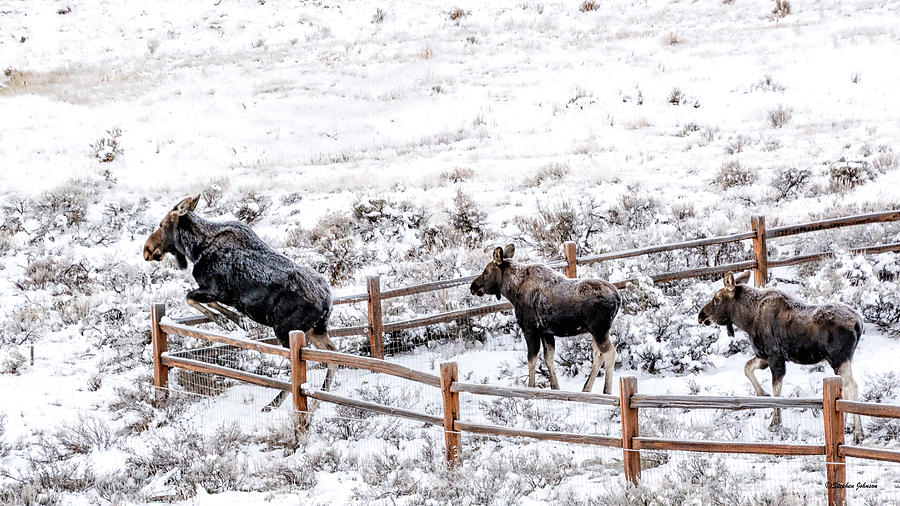 Cow Moose Leaping Fence by Stephen Johnson