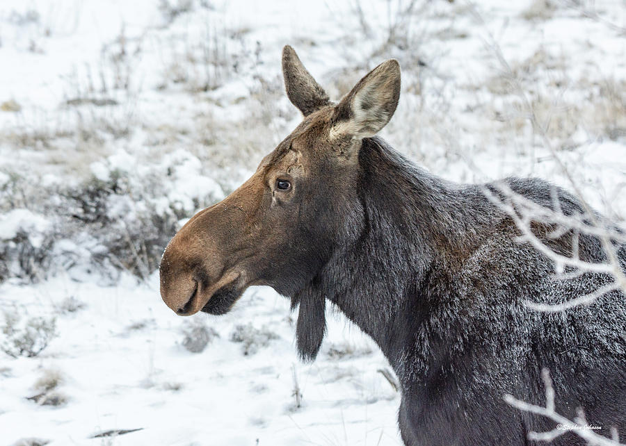 Cow Moose on Frosty Morning by Stephen Johnson