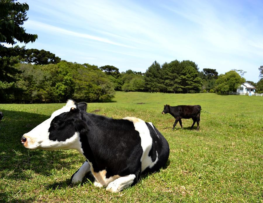 Cow Sitting On Grass Photograph by Radamés Manosso