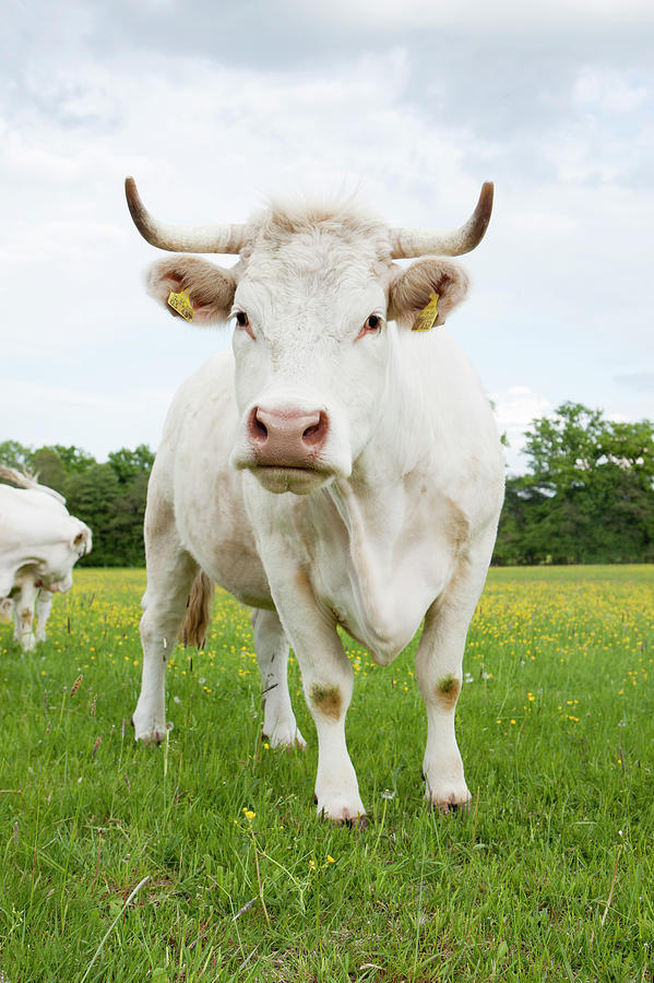 Cow Standing In Grassy Field Photograph by Stefanie Grewel