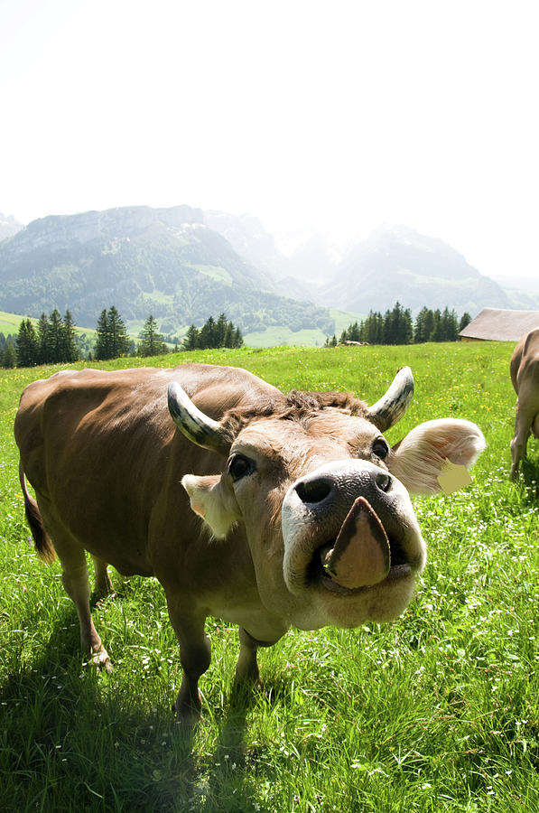 Cow Sticking Out Tongue Photograph by Assalve