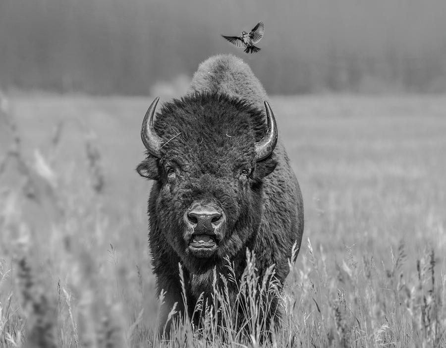 Cowbird Landing On Bison Photograph by Tim Fitzharris