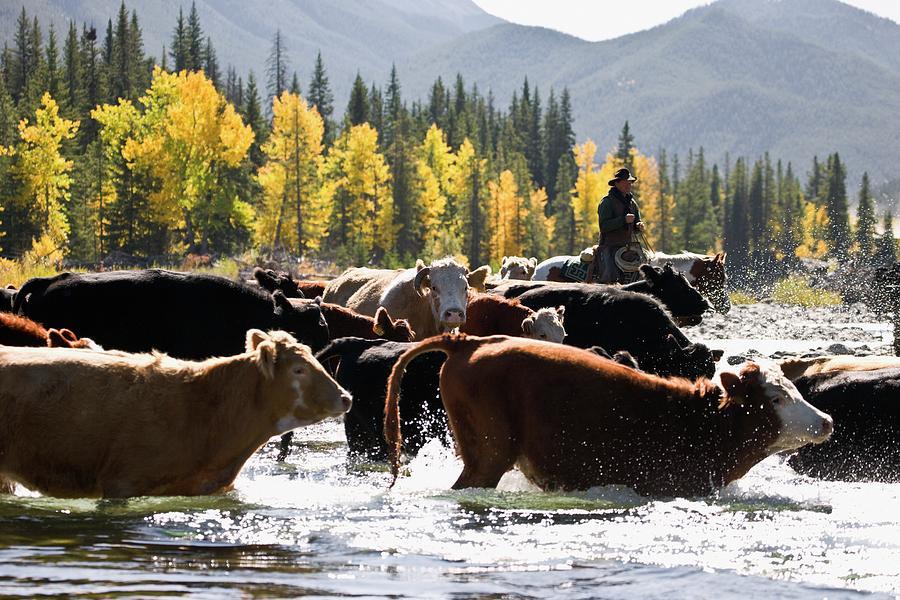 Cowboy Herding Cattle Across River Photograph by Design Pics/carson Ganci