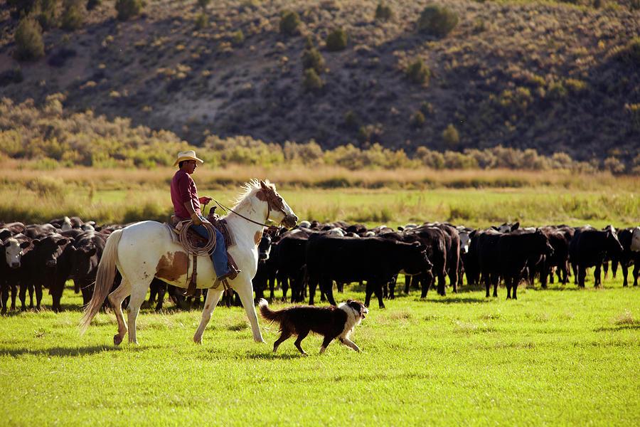 Cowboy Herding Cattle Photograph by John P Kelly