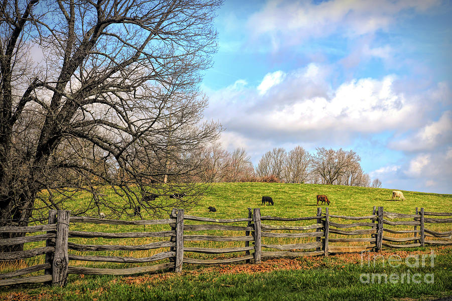 Cows Along the Blue Ridge Parkway by Kerri Farley