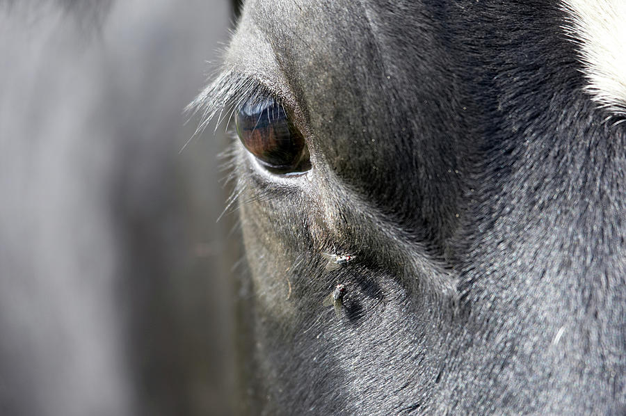 Cows Eye With Flies Photograph by Tirc83