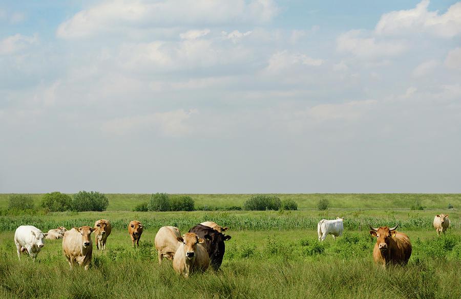 Cows Grazing In Rural Field Photograph by Mischa Keijser