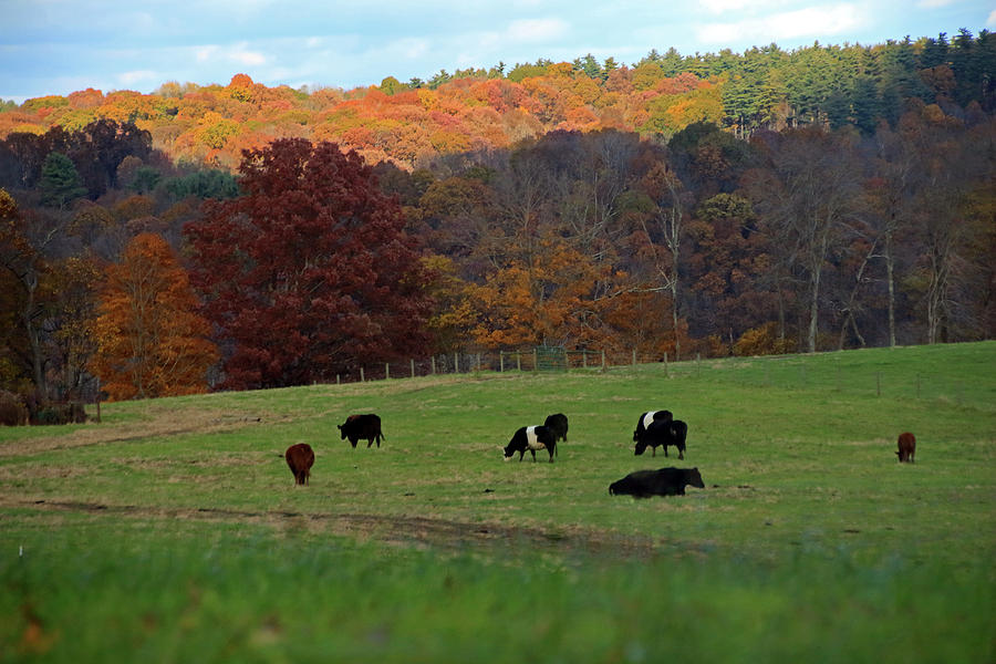 Cows Grazing on a Fall Day by Angela Murdock