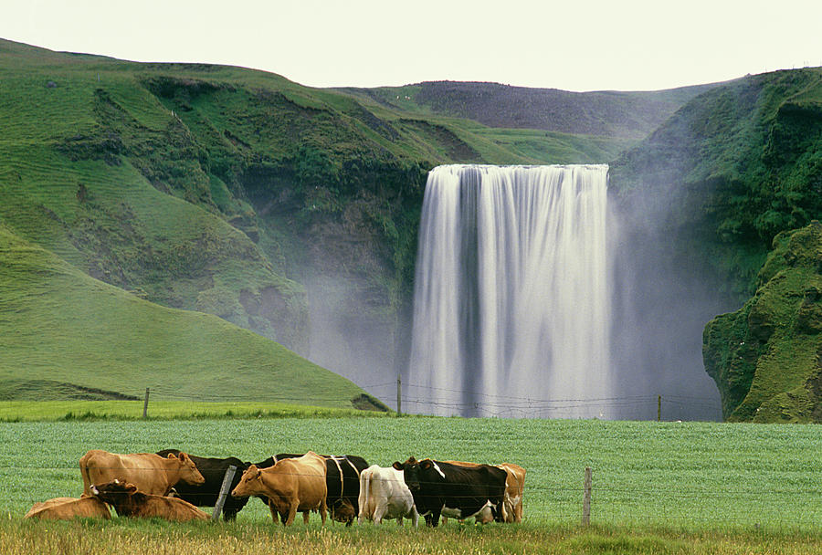 Cows In Front Of A Waterall Photograph by Clu