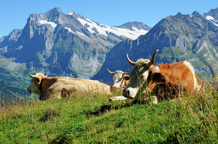 Cows In Front Of Mountains In Photograph by Werner Büchel