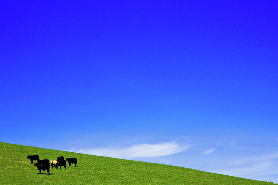Cows In Hill With Deep Blue Sky Photograph by Henrik Johansson, Www.shutter-life.com