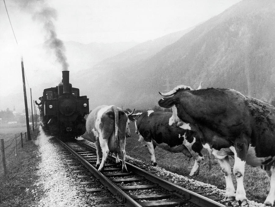 Cows In Tyrol In Austria In 1969 Photograph by Keystone-france