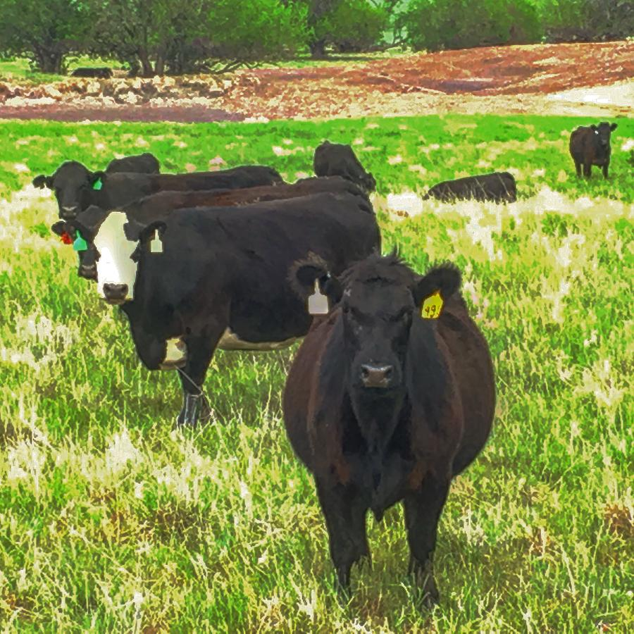 Cows Looking with Contempt by Michael Oceanofwisdom Bidwell
