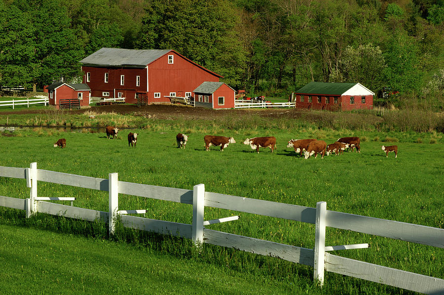 Cows On Green Field Pasture With White Photograph by Beklaus