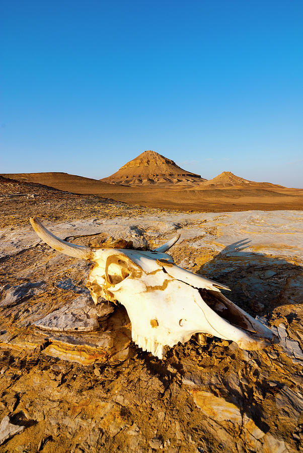 Cows Skull On Sand, Western Desert Photograph by Nico Tondini