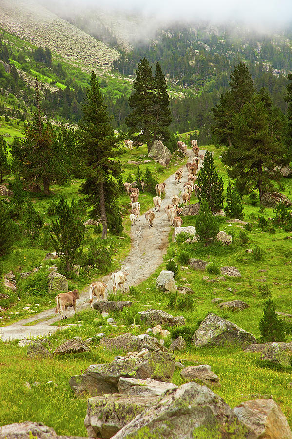 Cows Walking In Catalan Pyrenees Photograph by Gonzalo Azumendi