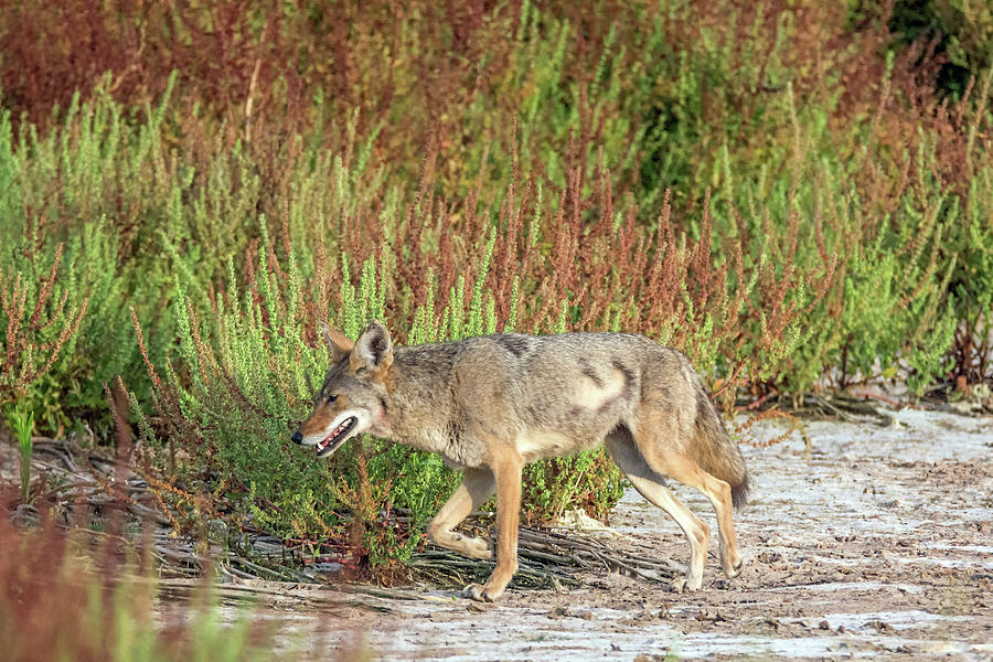 Coyote 6387-061319 by Tam Ryan