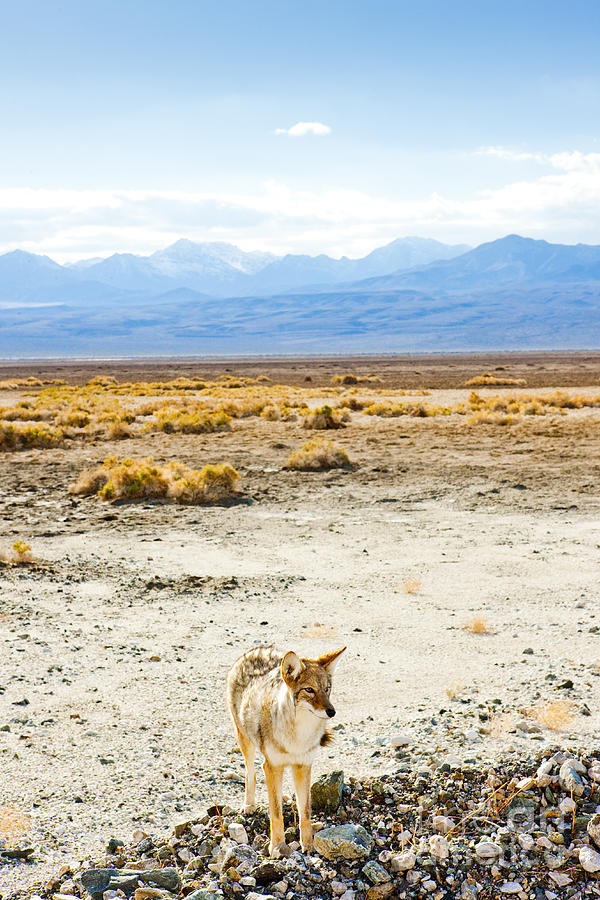 Mountains Photograph - Coyote, Death Valley National Park by Richard Semik