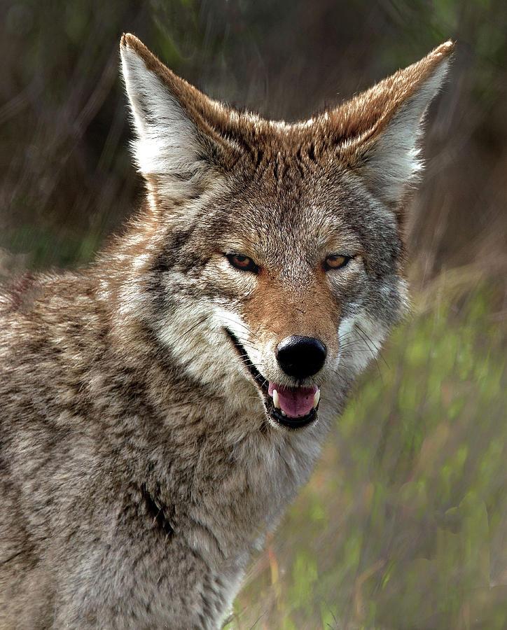 Coyote by Floyd Hopper