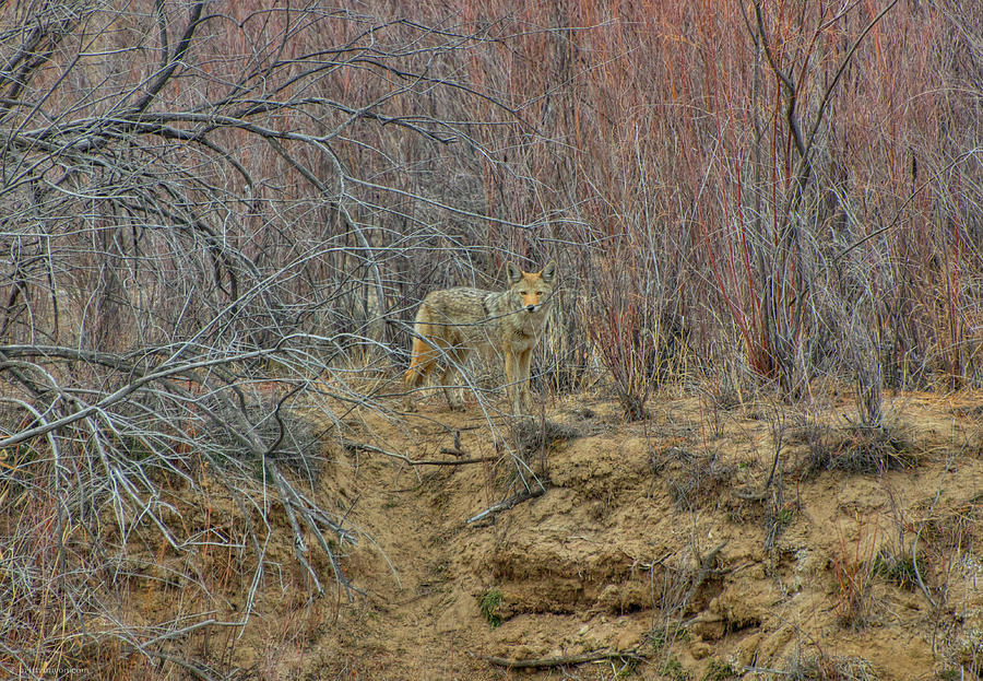 Coyote in the Brush by Britt Runyon