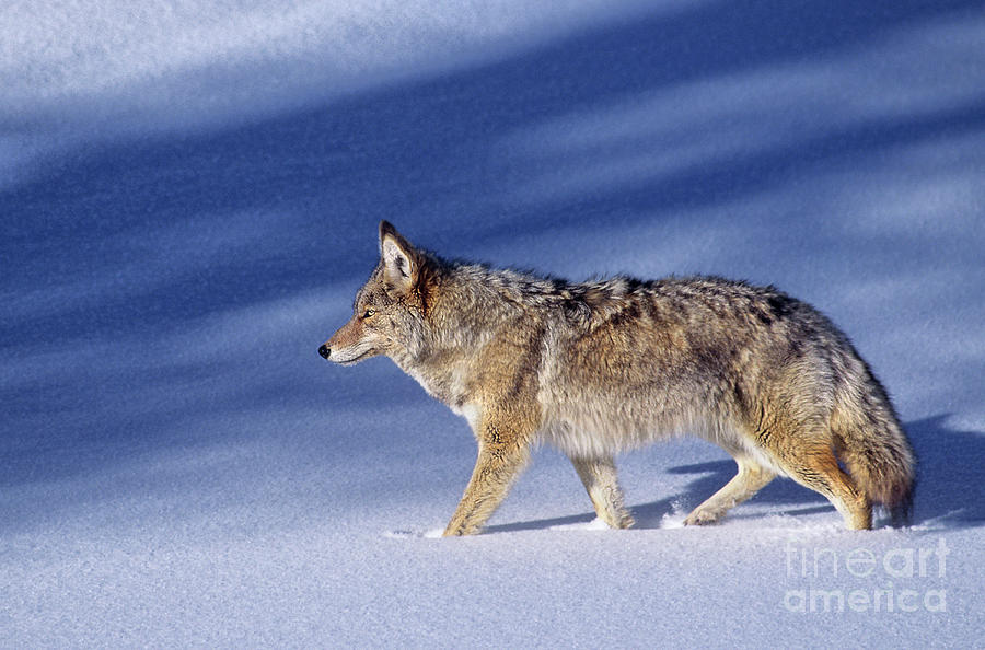 coyote in winter wyoming by Dave Welling