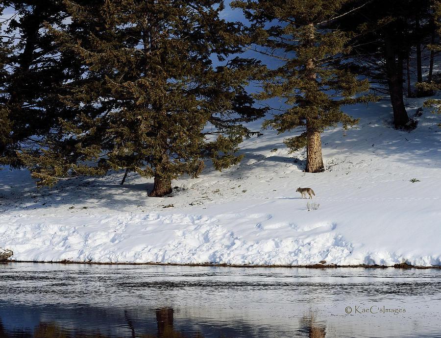 Coyote Making Tracks by Kae Cheatham