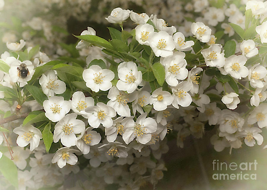 Crabapple Flowers by Ann Jacobson
