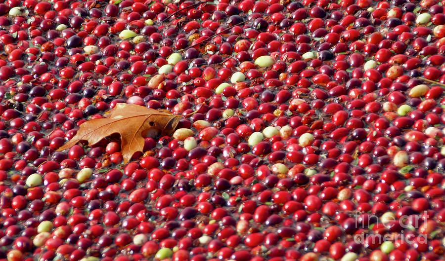 Cranberry Season by Amazing Jules
