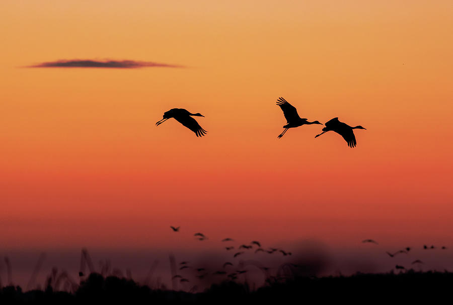 Cranes at Sunset by Lisa Malecki