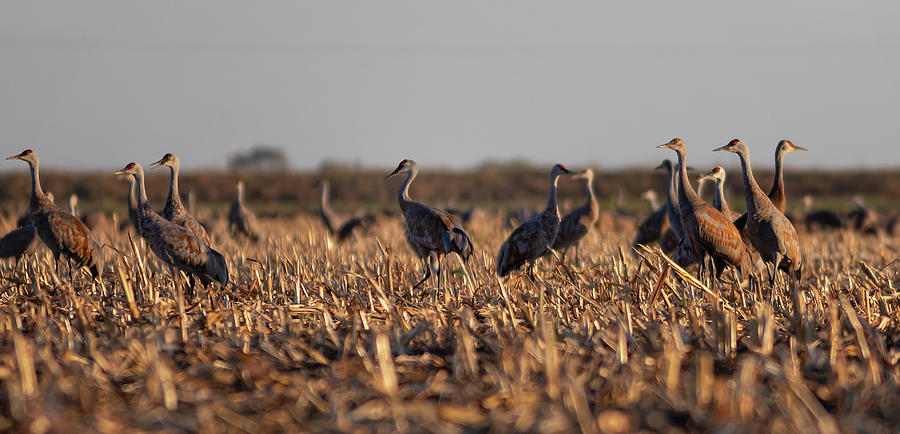 Cranes in the Field by Lisa Malecki