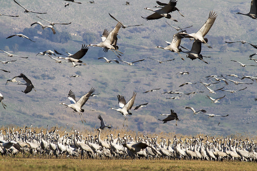 Cranes in the Galilee by Alon Mandel