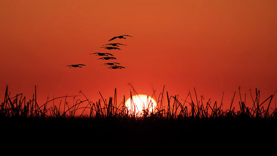 Cranes Silhouette with Setting Sun by Lisa Malecki