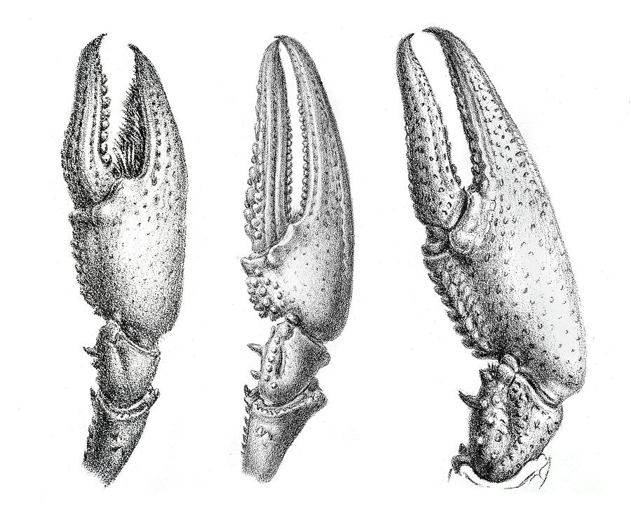 Crayfish Claws Engraving 1870 Digital Art by Thepalmer