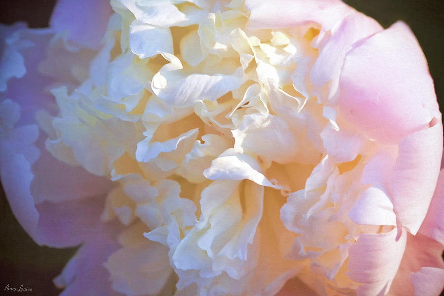 Cream and Pink Peony by Anna Louise
