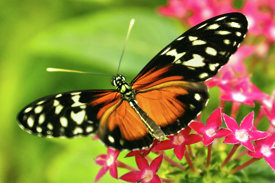 Cream-spotted Tigerwing Butterfly Photograph