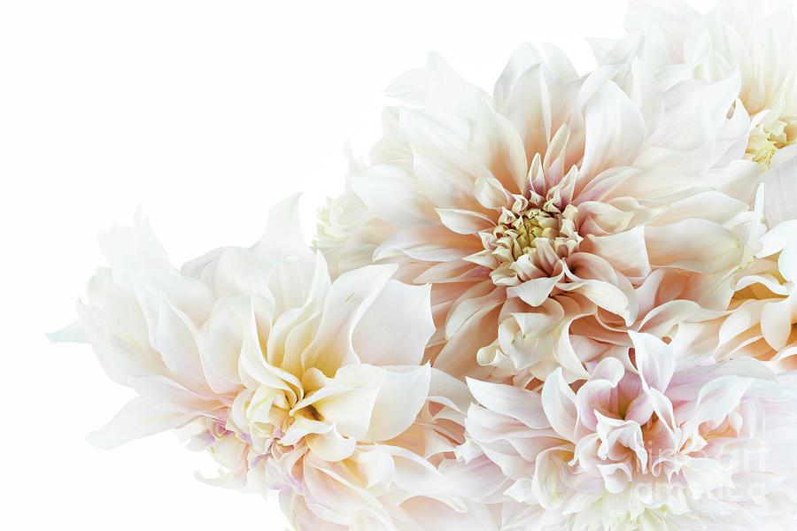 Creamy Dahlias by Ann Garrett