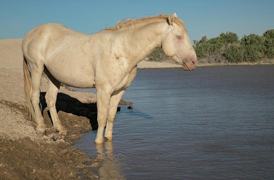 Cremello Stallion by Kent Keller