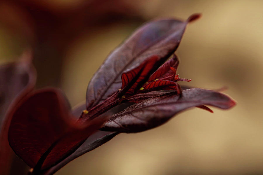 Crepe Myrtle Leaves In Spring Photograph