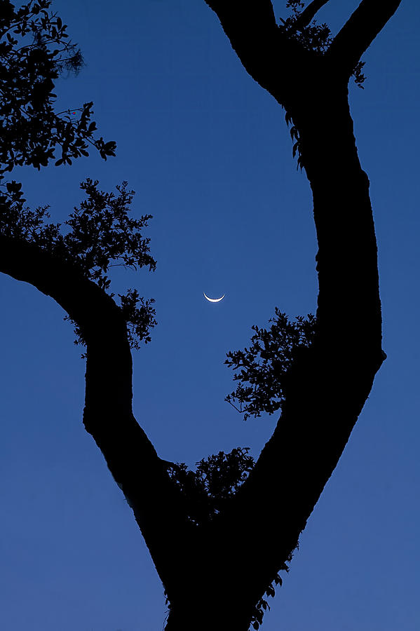 Crescent Moon through Tree by Bill Chambers