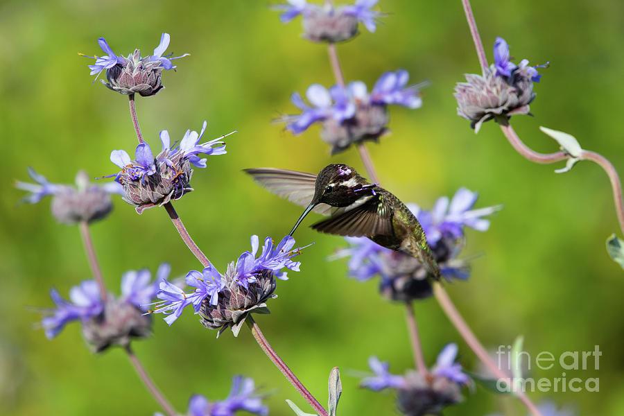 Animals Photograph - Crest Ridge Ecological Reserve Costa Hummingbird 2019 by Michael Vance Pemberton