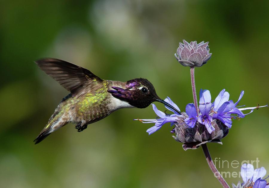 Animals Photograph - Crest Ridge Ecological Reserve Male Costa Hummingbird by Michael Vance Pemberton