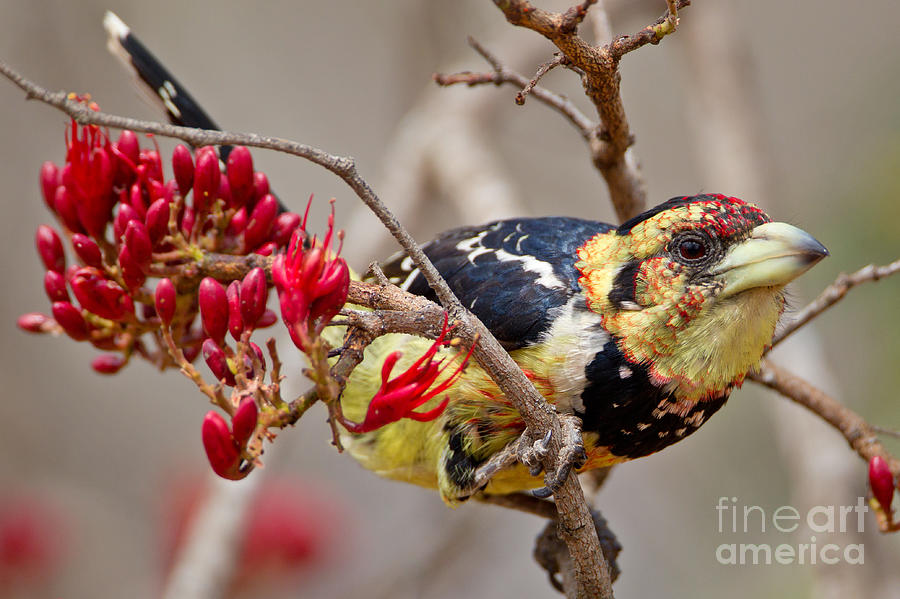 Crested Photograph - Crested Barbet, South Africa by Arnoud Quanjer