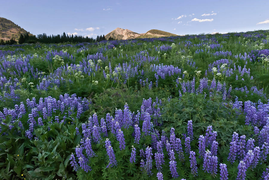 Crested Butte Evening Lupine Landscape by Cascade Colors