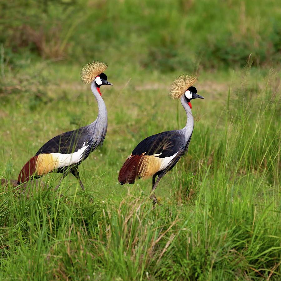 Crested Cranes by Rick Furmanek