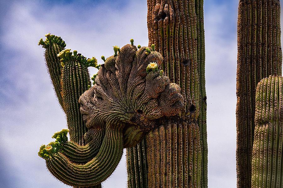 Crested Saguaro Photograph - Crested  by Saija Lehtonen