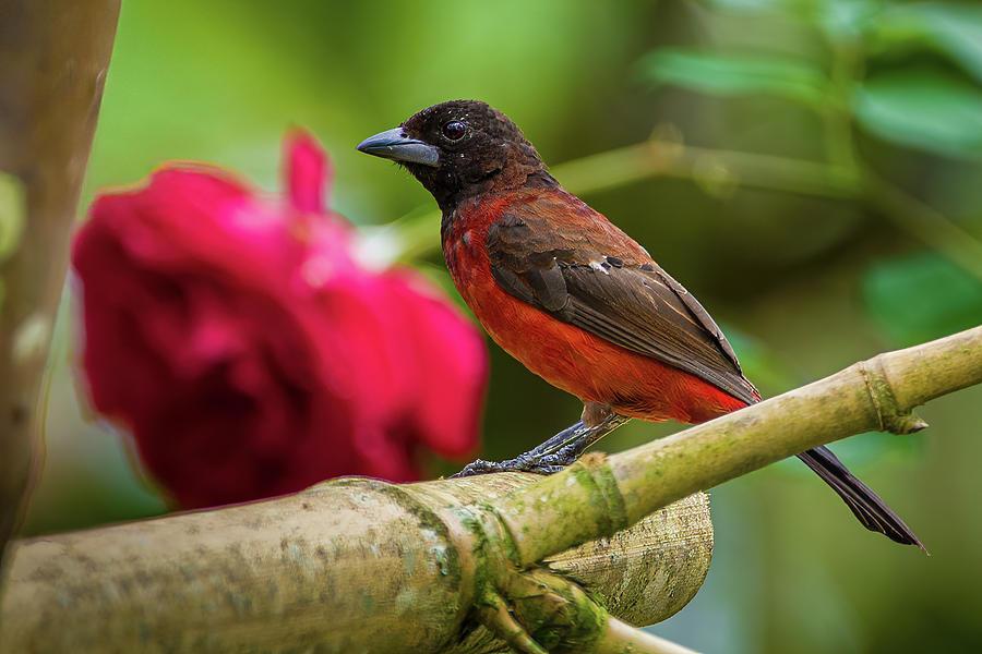 Crimson Backed Tanager Fincas Verdes San Antonio Tolima Colombia by Adam Rainoff