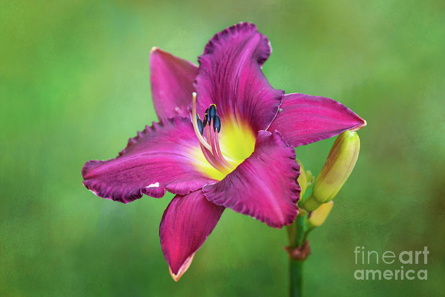 Glorious Crimson Daylily by Anita Pollak
