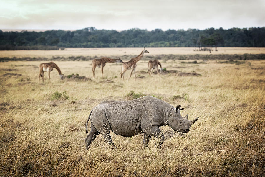 Critically Endangered Black Rhino and Giraffe in Kenya by Susan Schmitz