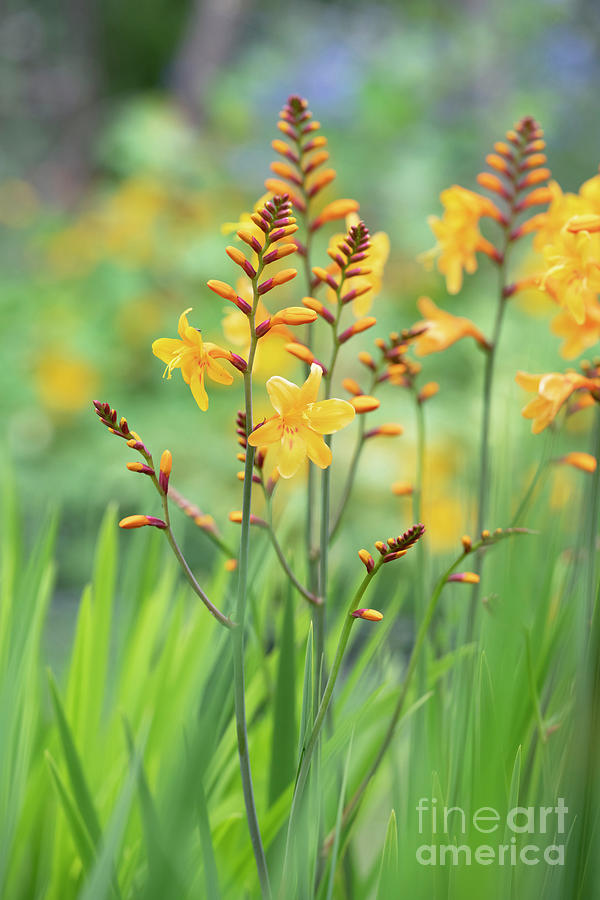 Crocosmia Buttercup in Flower  by Tim Gainey