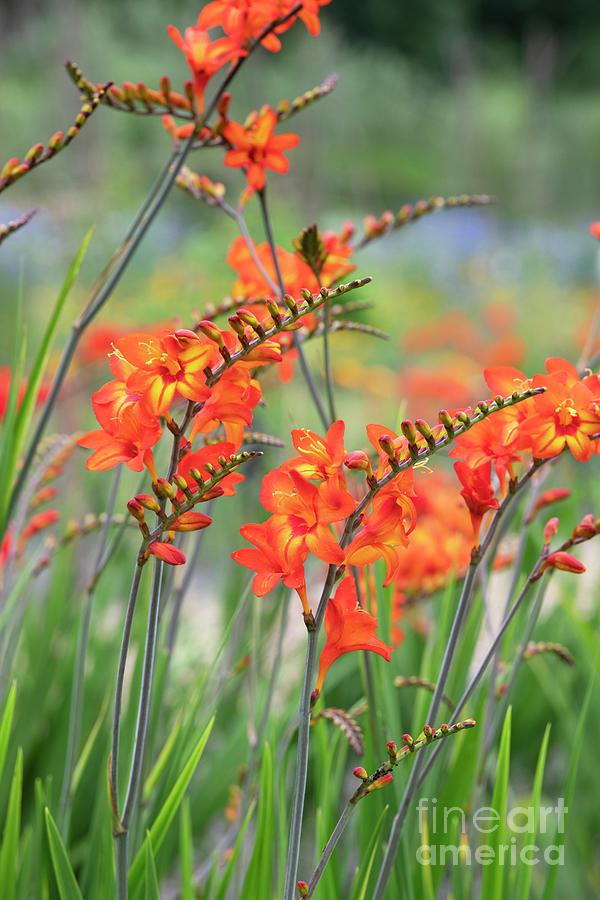 Crocosmia Firestars Scorchio Flowers by Tim Gainey